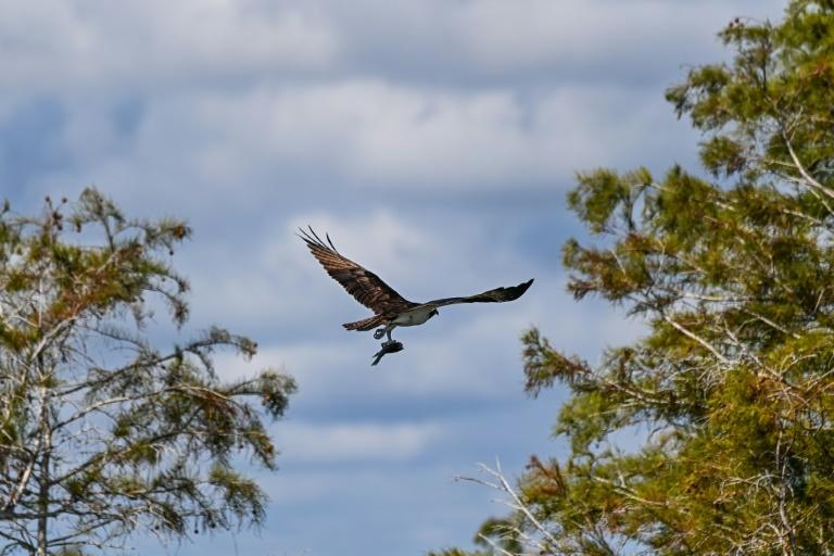 A bird flies holding its kill in Everglades National Park, Florida on September 30, 2021 as the largets wetland in the United States faces myriad threats from climate change (AFP/CHANDAN KHANNA)