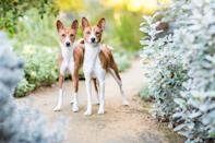 "<p>This unique breed is said to be among the oldest and most primitive. In fact, diagrams of dogs that look like <a href=""https://www.dailypaws.com/dogs-puppies/dog-breeds/basenji"" rel=""nofollow noopener"" target=""_blank"" data-ylk=""slk:Basenjis"" class=""link rapid-noclick-resp"">Basenjis</a> have been found in Egyptian pyramids. One of the most unusual facts about this breed is that, like wolves and another primitive dog called a dingo, females only come into heat once a year, unlike all other domestic breeds that come into heat twice a year. On top of all this, also like wolves, they rarely bark, preferring to whine and make a strange yodeling sound instead. Their attentive nature makes them great pets.</p>"