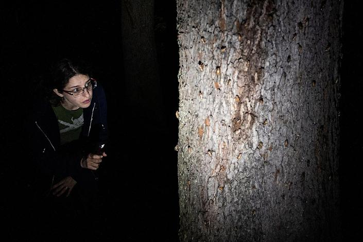 <p>Postdoctoral entomologist Zoe Getman-Pickering examines the creatures climbing a tree at the Woodend Sanctuary on May 20 in Chevy Chase, Maryland. </p>