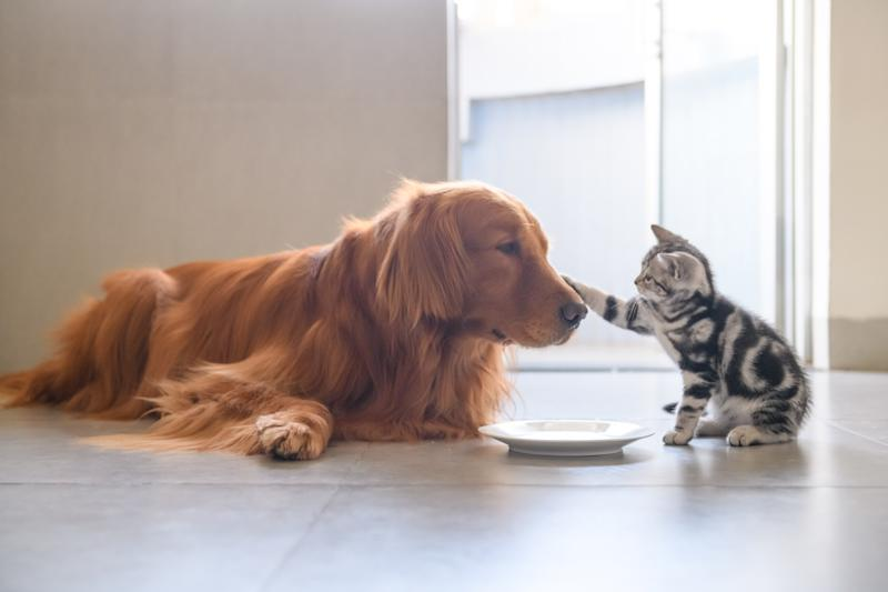 A kitty extending its paw on the snout of at a fully grown golden retriever.