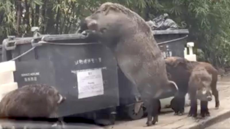 People Are Going Hog Wild Over A Monstrous Wild Boar Dubbed 'Pigzilla'