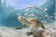 "<p>Turtles are an important part of our ecosystem and should be protected just like any other precious <a href=""https://www.redbookmag.com/life/charity/g4632/funny-animal-pictures/"" rel=""nofollow noopener"" target=""_blank"" data-ylk=""slk:animal"" class=""link rapid-noclick-resp"">animal</a>. We're celebrating these reptiles by bringing you some of the most interesting facts about them. Did you know that some aquatic turtles breathe through their butt when hibernating? Or that sea turtles can hold their breath underwater for up to seven hours? We should focus on the conservation of our favorite slow pokes and support programs like Costa Rica's non-profit <a href=""http://cirenas.org/"" rel=""nofollow noopener"" target=""_blank"" data-ylk=""slk:CIRENAS"" class=""link rapid-noclick-resp"">CIRENAS</a> (Centro de Investigación de Recursos Naturales y Sociales) who partnered with eco-tourism focused resort <a href=""https://florblanca.com/"" rel=""nofollow noopener"" target=""_blank"" data-ylk=""slk:Florblanca"" class=""link rapid-noclick-resp"">Florblanca</a> devoting time and effort into protecting turtle nests on Costa Rica's Pacific coast. Some turtles species are still at-risk and it's up to us to make sure our children and grandchildren are able to see and learn about these fascinating creatures while they're still alive. <br></p>"