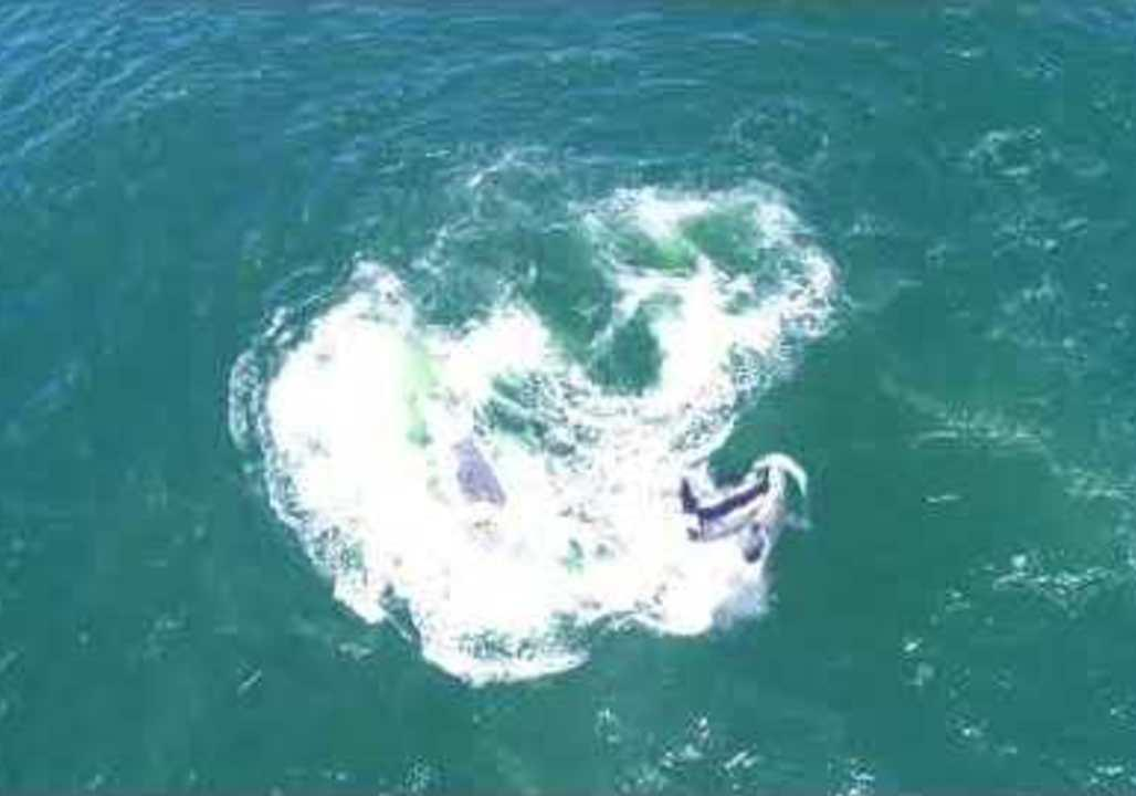 <p>Tourists aboard a Sanctuary Cruises boat in Monterey Bay, California, on April 17 were witness to an attack by a pack of Orca, targeting a grey whale and her calf, as seen in this video.</p><p>This drone footage shows the encounter, in which the Orca separate the mother from her calf. Members of the pod of much smaller Orca can be seen physically pushing the two grey whales apart. According to Giancarlo Thomae from Santuary Crusises, the Orcas went on to kill the calf for food. Credit: Giancarlo Thomae via Storyful</p>