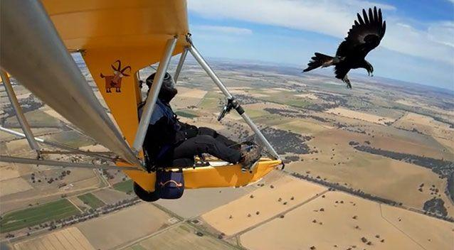 The wedge-tailed eagle known as Jack the Ripper has been tormenting ultralight pilots for years in central Victoria. Source: The Weekly Times