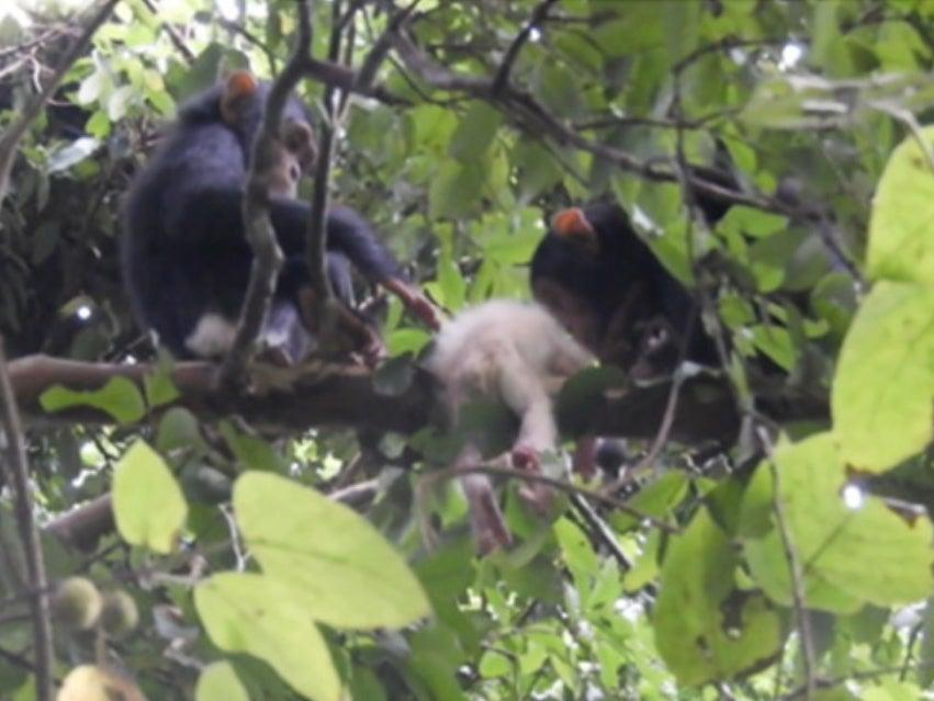 Two young chimpanzees inspect the body of the infant with albinism (Maël Leroux)