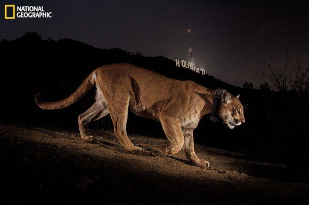 PHOTO: Hollywood's most reclusive star, cougar P22, was first seen in Griffith Park in Los Angeles almost two years ago. (Steve Winter/National Geographic)
