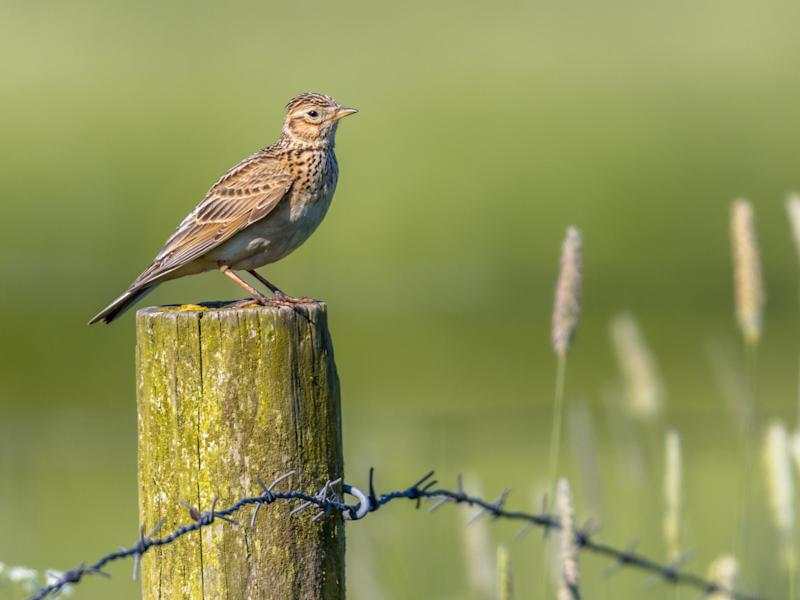 The skylark is one of many French species that has faced a population collapse in recent years: Getty Images