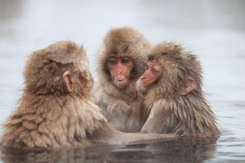 Snow monkeys bathing in Jigokudani Yaen-Koenthe's hot springs - Credit: Getty
