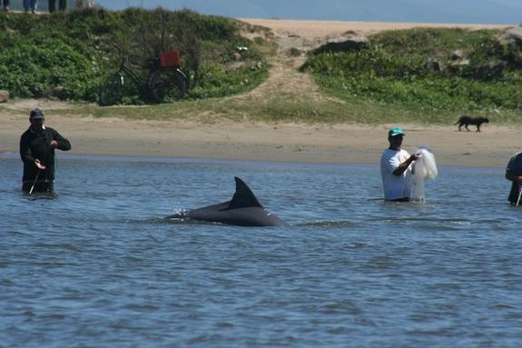 Dolphins and fishermen work together in Laguna, Brazil, to catch groups of mullet.