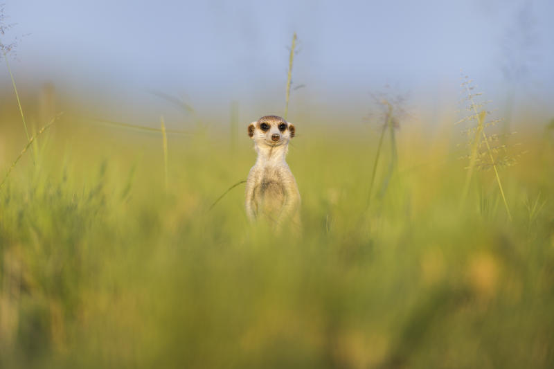 A meerkat stands watch in Makgadikgadi Pans, Botswana.(Photo: Will Burrard-Lucas/Caters News)