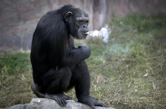 """<p>Azalea, a 19-year-old female chimpanzee whose Korean name is """"Dallae,"""" smokes a cigarette at the Central Zoo in Pyongyang, North Korea, Oct. 19, 2016. According to officials at the newly renovated zoo, which has become a favorite leisure spot in the North Korean capital since it was re-opened in July, the chimpanzee smokes about a pack a day. They insist, however, that she doesn't inhale. (AP Photo/Wong Maye-E) </p>"""