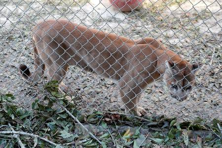 FILE PHOTO: A mountain lion stands in a cage near debris from Hurricane Michael at the Bear Creek Feline Center in Panama City, Florida, U.S. October 12, 2018. REUTERS/Terray Sylvester/File Photo