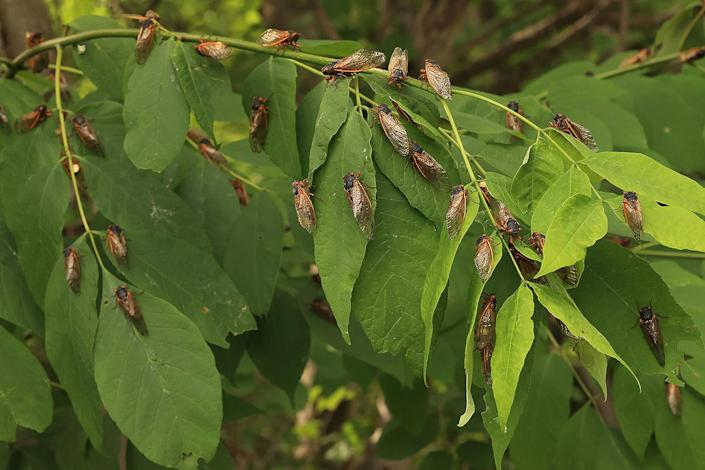 <p>Magicicada periodical cicadas, which are members of Brood X, takeover a plant at Fairland Recreational Park in Burtonsville, Maryland, on June 1.</p>