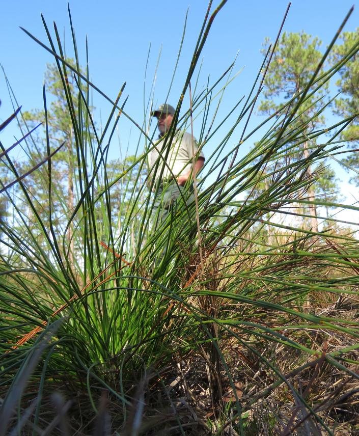 """A 2-year-old """"grass stage"""" longleaf pine seedling stands in the DeSoto National Forest on Wednesday, Nov. 18, 2020, with U.S. Forest Service silviculturist Keith Coursey and some 80- to 85-year-old trees in the background. Longleaf forests once covered an estimated 92 million acres, a figure which had fallen to 3.4 million by 2010. Since then, people in nine coastal states from Texas to Virginia have added 1.3 million acres -- some by planting seedlings, others by taking out shrubs and other trees in mixed forests. (AP Photo/Janet McConnaughey)"""