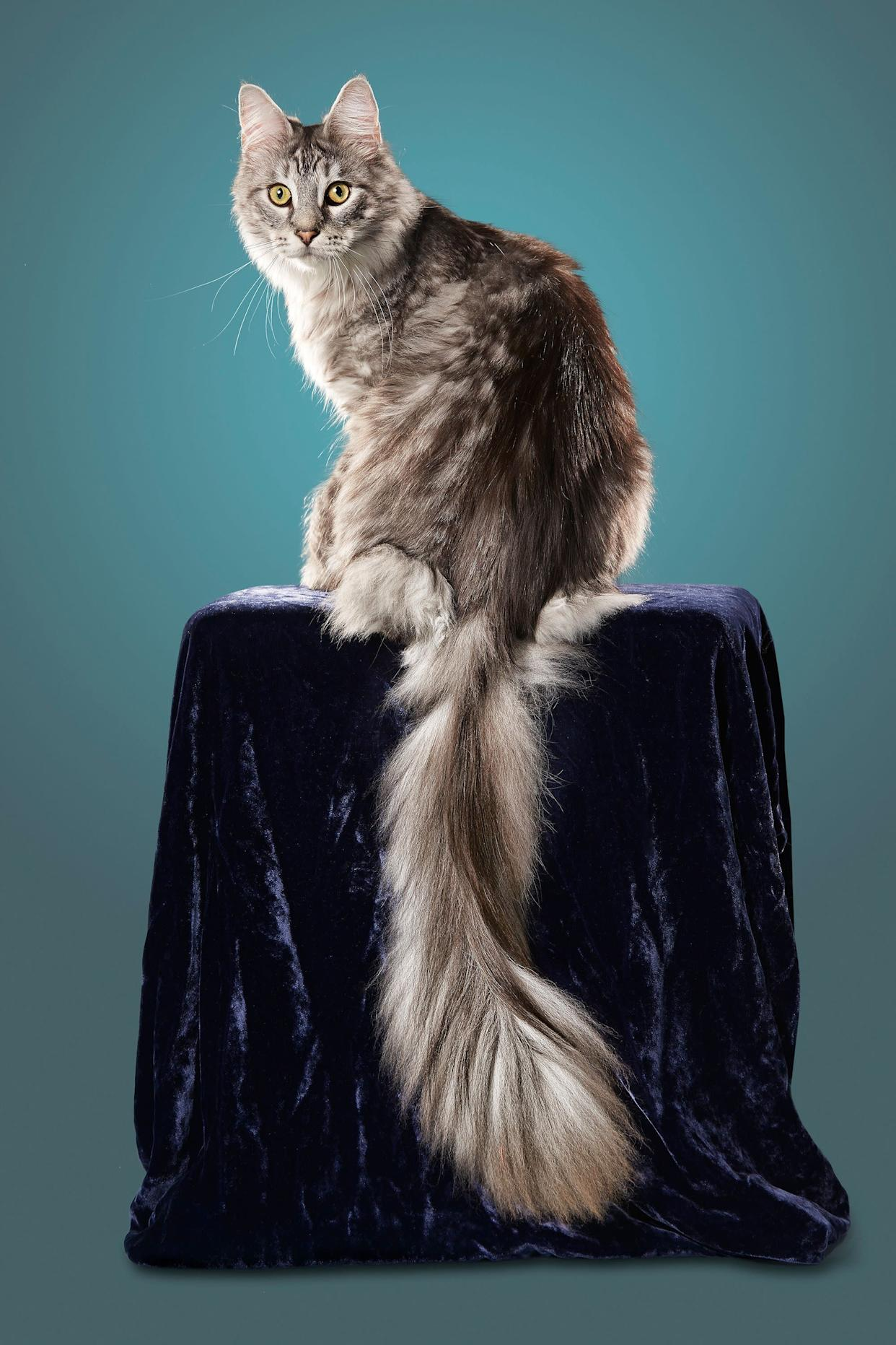 Cygnus, a Maine Coon in Ferndale, Michigan, has a tail measuring 17.58 inches.