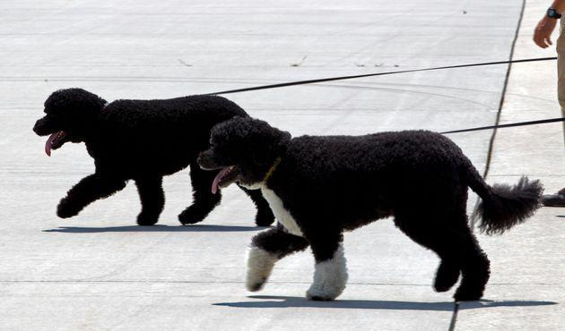 Bo and Sunny walk on the tarmac by their handlers to board Air Force One before the arrival of President Barack Obama and his family in August, 2016.