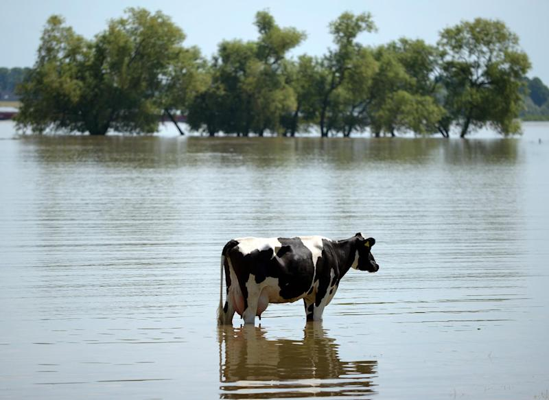 A cow stands on a meadow, which has been flooded by river Rhine, in Xanten, western Germany, Wednesday June 5, 2013. Heavy rainfalls caused flooding in parts of Germany, Austria and Czech Republic. (AP Photo/dpa, Federico Gambarini)