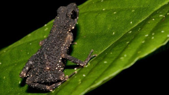 """<p><strong>Scientific classification</strong>: <em>Ansonia smeagol</em></p><p><strong>Location</strong>: Malaysia</p><p>Named after the ring-hunting <a href=""""https://www.bbc.com/news/science-environment-44712039"""" rel=""""nofollow noopener"""" target=""""_blank"""" data-ylk=""""slk:Gollum"""" class=""""link rapid-noclick-resp"""">Gollum</a> from <em>The Lord of The Rings</em>, the Precious Steam-Toad is a mysterious little toad. It was only discovered in 2016 in the Titiwangsa Mountains, which spread through both Malaysia and Thailand. It's possible humans only know about the tiny amphibian, <a href=""""https://amphibiaweb.org/species/8466"""" rel=""""nofollow noopener"""" target=""""_blank"""" data-ylk=""""slk:barely an inch long"""" class=""""link rapid-noclick-resp"""">barely an inch long</a> at maximum, because climate change forced them upland from the forest. </p><p>They can be found around an hour's drive from Kuala Lampur, as far as scientists know, only on a single mountain. However, the continued expansion of a nearby gambling resort and entertainment complex known as Genting Highlands—which already consists of 7 hotels—and other developments in the region threaten the Toad's environments and the water quality of nearby streams to the extent that the IUCN <a href=""""https://www.iucnredlist.org/species/125164376/125164432#threats"""" rel=""""nofollow noopener"""" target=""""_blank"""" data-ylk=""""slk:lists them as vulnerable"""" class=""""link rapid-noclick-resp"""">lists them as vulnerable</a>.</p>"""