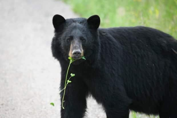A black bear in Yukon. Whitehorse residents are being reminded not to put out food for wildlife and to minimize food smells on their properties to avoid attracting bears.  (Environment Yukon - image credit)