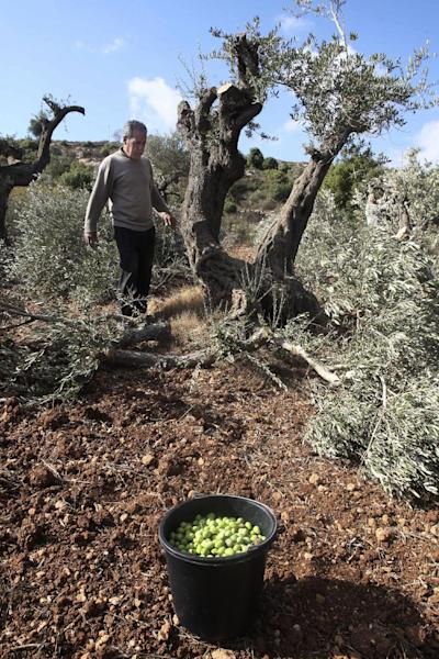 A Palestinian farmer collects olives from broken olive tree branches in the village of Qusra, northern West Bank, Tuesday, Oct. 9, 2012. Palestinian farmers say Jewish settlers from the nearby settlement of Eli cut more than 70 olive trees overnight. Olives are the backbone of Palestinian agriculture. (AP Photo/Nasser Ishtayeh)