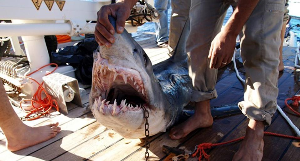 A shark believed by the Egyptian Ministry of Environment to be behind an attack on tourists in the Red Sea resort of Sharm el-Sheikh in 2010.