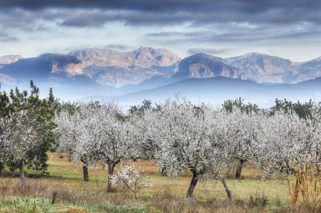Spain, Balearic Islands, Majorca, View of almond trees with mountains in background