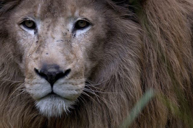 Two lions escape from zoo enclosure in Germany