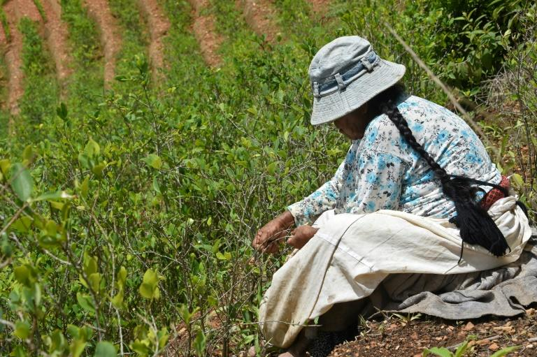 Traditional coca farmer Gladys de Quispe at work in her fields in Cruz Loma, in December 2019