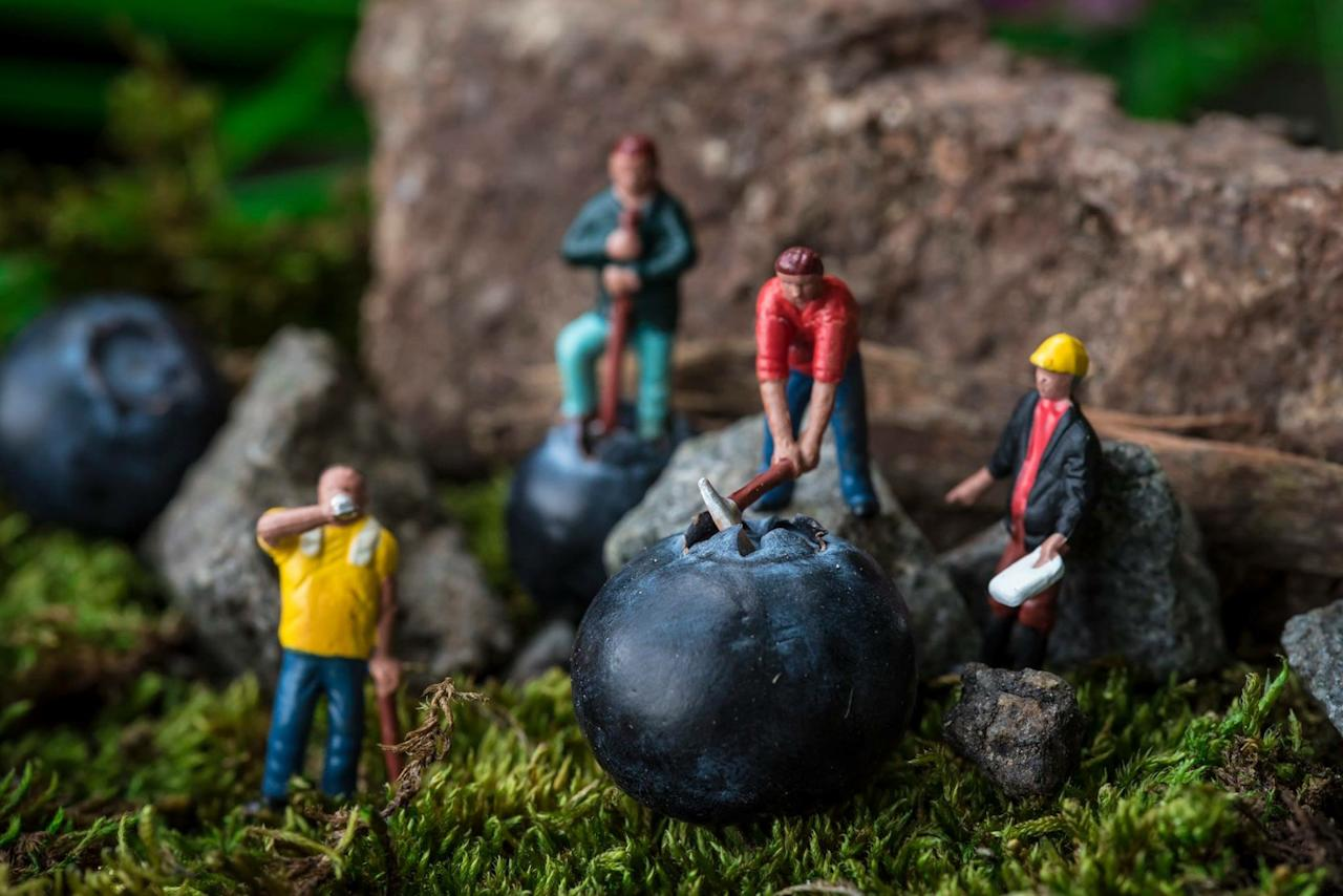 <p>Péter, from Hungary, said: 'I found a miniature worker set in a model shop in Guernsey. I put them together with some blueberries, and that was the first picture.' (SWNS) </p>