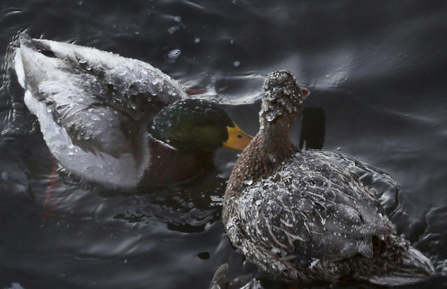 <p>Birds swim beneath the Rum River Dam, Tuesday, Dec. 26, 2017, in Anoka, Minn. (Photo: David Joles/Star Tribune via AP) </p>