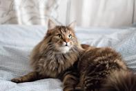 "<p>Known for being the largest of house cats, the <a href=""https://www.dailypaws.com/cats-kittens/cat-breeds/maine-coon"" rel=""nofollow noopener"" target=""_blank"" data-ylk=""slk:Maine Coon"" class=""link rapid-noclick-resp"">Maine Coon</a> loves to act as your companion. If you're not intimidated by size (Maine Coons grow to be up to 40 inches in length) or shedding (their coats should to be groomed regularly), then this majestic cat will be protective of your family.</p>"