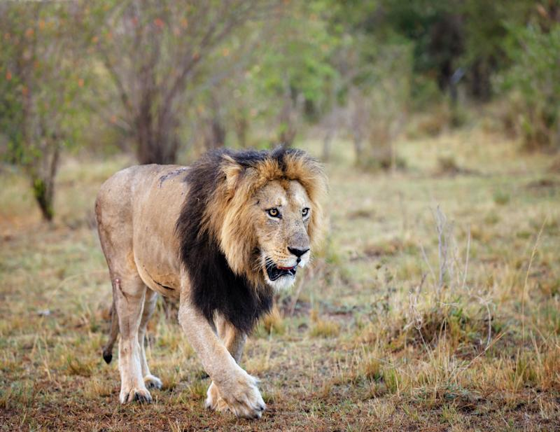 A worker was killed by a lion, similar to the one pictured, at a North Carolina wildlife preserve during an enclosure cleaning, the facility said. (Photo: Vicki Jauron, Babylon and Beyond Photography via Getty Images)