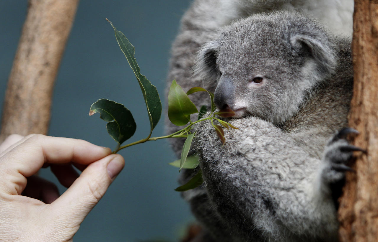 A zoo keeper offers eucalyptus leaves to a Koala joey named 'Boonda' in his enclosure at Wildlife World in Sydney June 28, 2011. The zoo plans to launch a fund raising program to help conserve the iconic Australian marsupial which faces threats from habitat reduction and disease.     REUTERS/Tim Wimborne