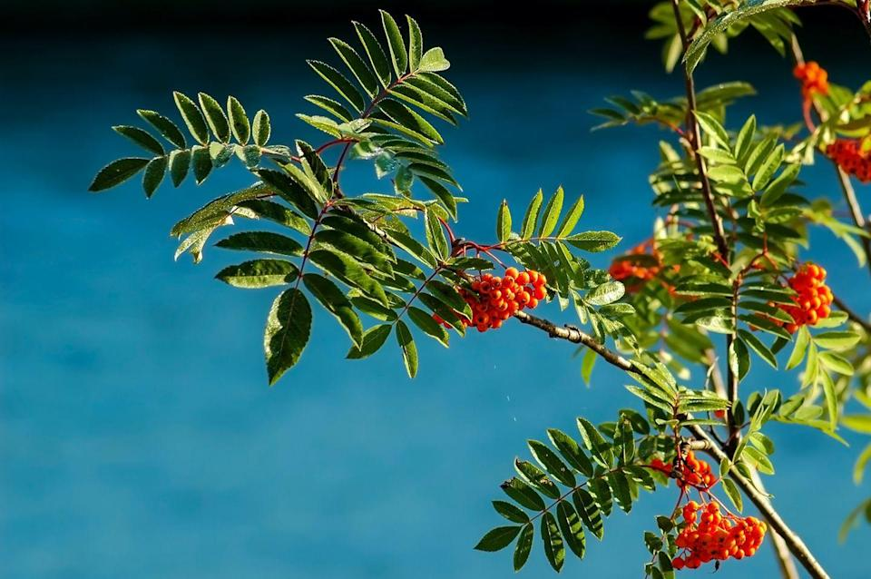 """<p>Mountain ash, also known as Rowan, is a genus of several shrubs or trees in the rose family. Among the most magnificent trees for fruit display, it's a wonderful tree to consider if you're blessed with a garden. </p><p><a class=""""link rapid-noclick-resp"""" href=""""https://www.primrose.co.uk/-p-68476.html"""" rel=""""nofollow noopener"""" target=""""_blank"""" data-ylk=""""slk:BUY NOW VIA PRIMROSE"""">BUY NOW VIA PRIMROSE</a> </p>"""