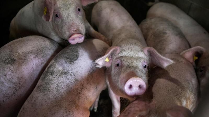 Philippines confirms African swine fever, culls 7000 pigs