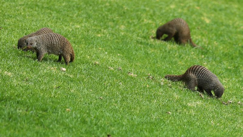 Anyone know the rule for a mongoose attack on your golf ball? - Fleetwood in Sun City puzzler