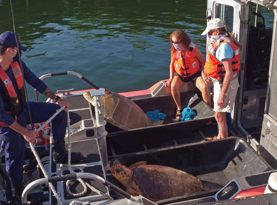 """In this photo provided by the Florida Keys News Bureau, Turtle Hospital staff members including Bette Zirkelbach, middle, and Richie Moretti, right, watch over """"Emma,"""" a loggerhead sea turtle, front, and """"Bubbles,"""" a green sea turtle, back, before they left the dock on a U.S. Coast Guard boat to release the reptiles Thursday, Aug. 6, 2020, off Islamorada, Fla. Both turtles were rescued by the Coast Guard in June, suffering from various ailments, and recovered at the Florida Keys-based Turtle Hospital. (Bob Care/Florida Keys News Bureau via AP)"""