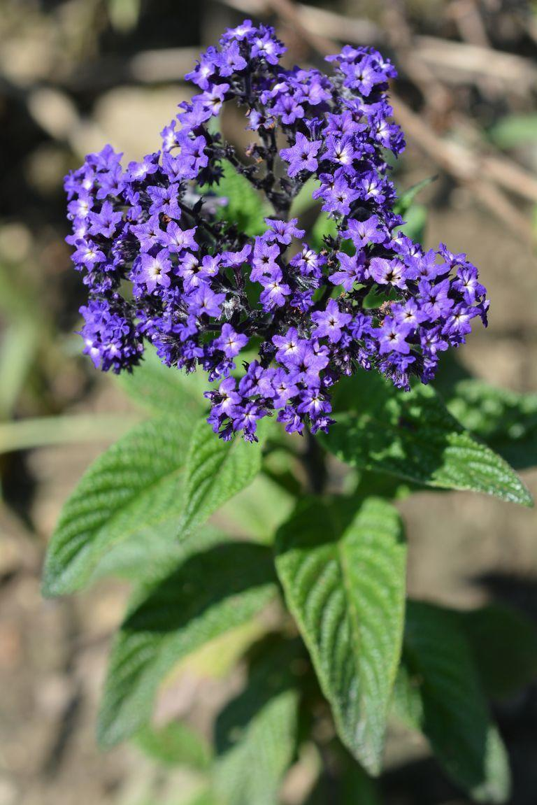 <p>Roses aren't the only passionate flower in your garden. Heliotrope represents eternal love, too. These also show up in perfume, thanks to their sweet smell. </p>