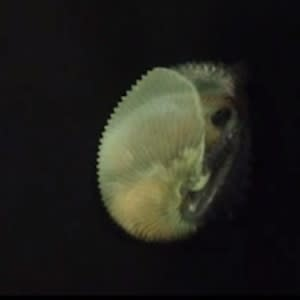 """Unusual Offshore Octopods: Argonaut Octopus Builds a """"Shell"""" for Swimming [Video]"""