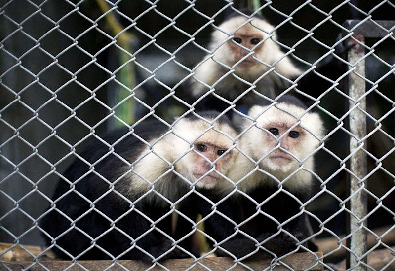 Capuchin monkeys sit in a cage at the state environmental agency Corporación Autonoma Regional del Valle del Cauca on March 17, 2015, in Palmira, Colombia, before being returned to the wild in the Amazon (AFP Photo/Luis Robayo)