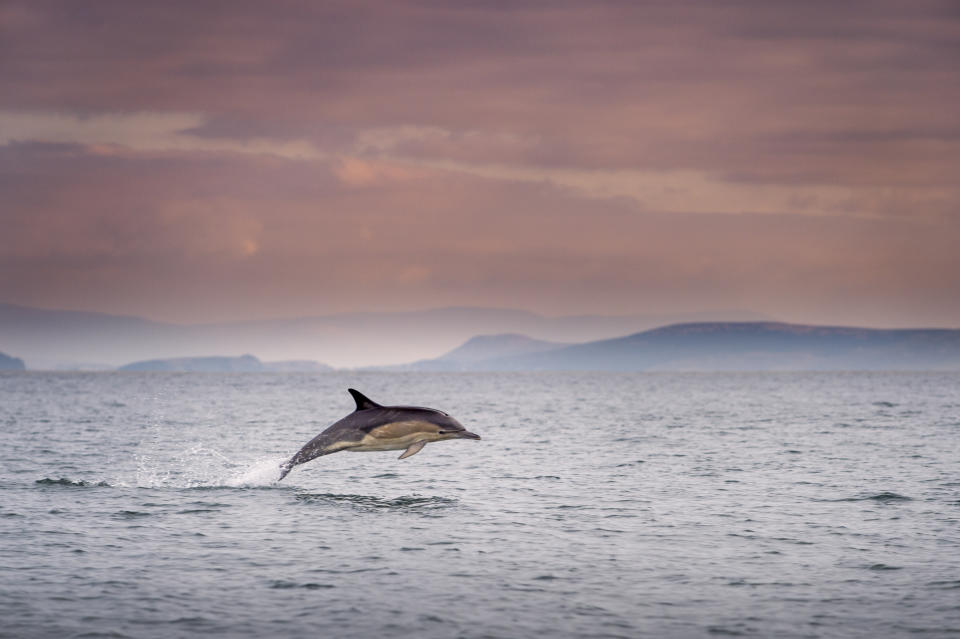 A dolphin in waters off Dingle, Co Kerry, Ireland. (Getty)