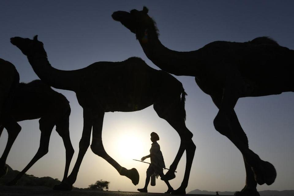 <p>An Indian camel owner walks with his livestock during sunset at the Pushkar Camel Fair in Pushkar in Rajasthan state. Thousands of livestock traders from the region come to the traditional camel fair where livestock, mainly camels, are traded. This annual five-day camel and livestock fair is one of the world's largest camel fairs. (Dominique Faget/AFP/Getty Images) </p>