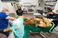 A lion undergoes a vasectomy operation at Burger's Zoo in Arnhem
