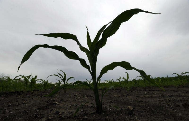 In this June 27, 2013, photo a corn plant is seen in a field in Madrid, Iowa. The U.S. Department of Agriculture said Friday, June 28, 2013, farmers will come through with the predicted corn crop despite a wet spring in the Midwest that delayed planting and has left puddles standing in some fields. (AP Photo/Charlie Neibergall)