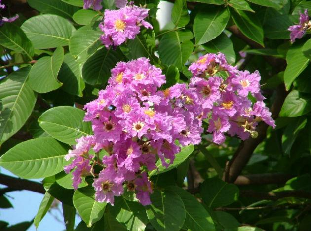 <b>Using Jarul or Banaba:</b> Diabetics can use Banaba or Jarul plant extract. Banaba is among the lesser known of herbal plants in India. Along with India, it is grown in only a handful of other nations. The herbal powder of Banaba extract can be used to make herbal tea. This plant contains high concentrations of contains Corosolic acid—the most potent of biochemical compounds that stimulate faster glucose metabolism and help to regulate blood sugar and insulin levels that is very useful for combating diabetes.