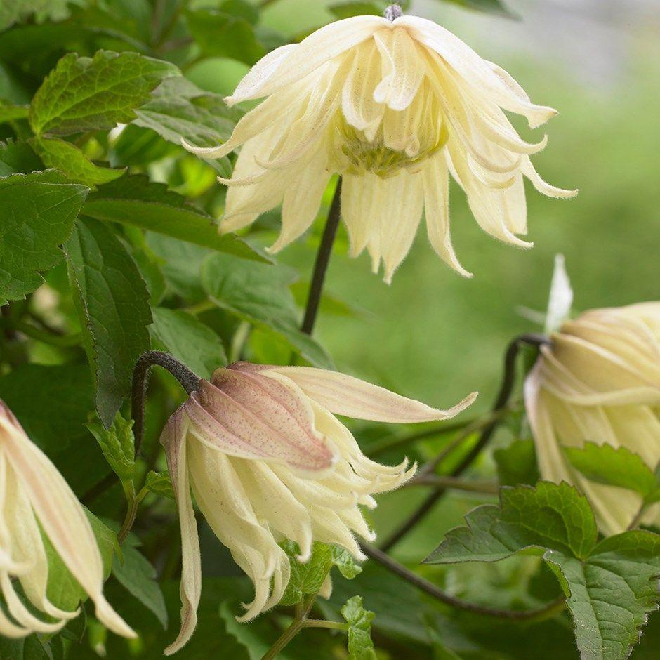"""<p>These lovely amber flowers will bloom around May and June and then return again in September.</p><p><a class=""""link rapid-noclick-resp"""" href=""""https://www.crocus.co.uk/plants/_/clematis-koreana-amber-wit141205-pbr/classid.2000028062/"""" rel=""""nofollow noopener"""" target=""""_blank"""" data-ylk=""""slk:BUY NOW"""">BUY NOW</a> <strong>from £19.99, Crocus</strong></p>"""
