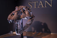 The skull of Stan, one of the largest and most complete Tyrannosaurus rex fossil discovered, is on display, Tuesday, Sept. 15, 2020, at Christie's in New York. The T. rex named after the paleontologist who first found the skeleton's partially unearthed hip bones, will be auction on Oct. 6, 2020 and will be on public view from Sept. 16 - Oct. 21, 2020 to pedestrians through Christie's floor-to- ceiling gallery windows and a limited number of in-gallery viewings by appointment. Stan's head on the completed display of is a casting of the original, which is too heavy for the display. (AP Photo/Mary Altaffer)