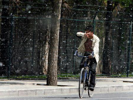 A man tries to cover his face as he rides his bicycle through cotton-like seeds from Poplar trees, also known as Cottonwood trees, on a Spring day in Beijing