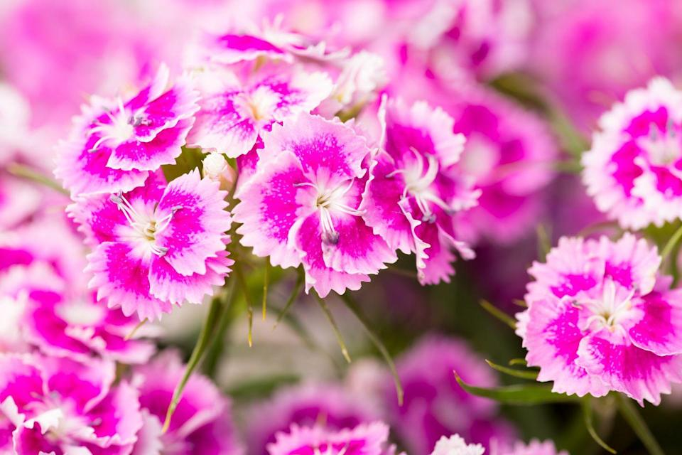 <p>You'll find this cool-weather lover in a range of colors from white, to magenta to crimson. Bonus: It has a subtle sweet fragrance to catch that autumn breeze.</p><p><strong>Zones: 3-9</strong></p>