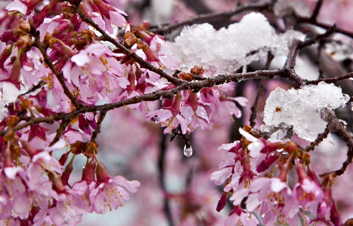A late season snow clings to blossoms and berries in Arlington, Va., outside Washington, Monday, March 25, 2013. (AP Photo/J. Scott Applewhite)